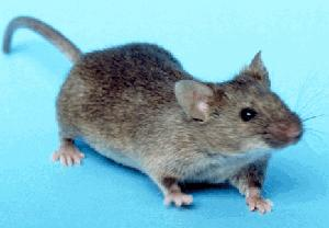 mus musculus, house mouse, mouse, C57